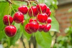 Красные вишни на ветви, конец-вверх ягод Стоковое Изображение
