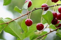 Красные вишни на ветви после дождя Стоковые Фото