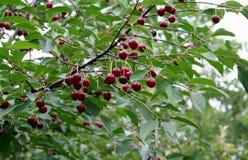 Красные вишни на ветви после дождя Стоковые Изображения
