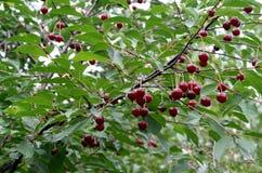 Красные вишни на ветви после дождя Стоковая Фотография RF