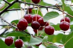 Красные вишни на ветви после дождя Стоковое Фото