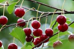 Красные вишни на ветви после дождя Стоковое Изображение