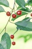 Красные вишни на ветви с зелеными листьями Стоковые Изображения