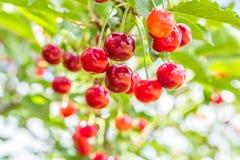 Красные вишни на ветви с зелеными листьями, конце вверх Стоковое Фото