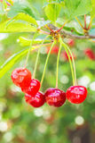 Красные вишни на ветви с листьями, конце-вверх Стоковые Изображения