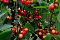 Красные вишни на ветви Стоковое Фото