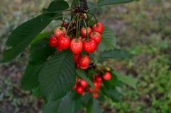 Красные вишни на ветви Стоковые Фото