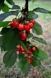 Красные вишни на ветви Стоковое фото RF