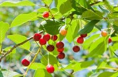 Красные вишни на ветви Стоковые Изображения RF