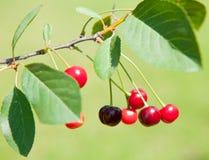 Красные вишни на ветви Стоковое Изображение RF