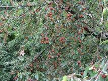 Красные вишни на дереве в саде вишни Стоковые Фото