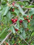 Красные вишни на дереве в саде вишни Стоковое Фото
