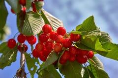 Красные вишни на дереве в солнечном дне стоковое изображение