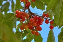 Красные вишни на дереве в солнечном дне стоковые фото