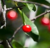 Красные вишни на дереве в природе Стоковые Изображения RF
