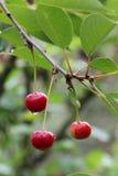 Красные вишни на дереве Стоковые Изображения RF
