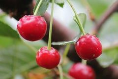 Красные вишни на дереве Стоковое Изображение