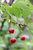 Красные вишни на дереве Стоковое фото RF
