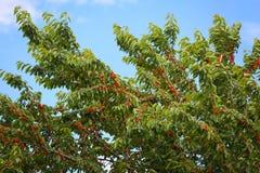 Красные вишни на фруктовом дерев дереве Стоковые Изображения