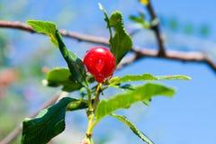 Красные вишни с водой падают на ветвь с зелеными листьями в саде в лете России южном Ural стоковое изображение rf