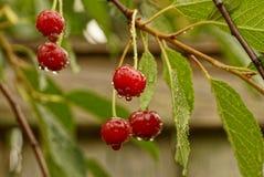 Красные вишни с водой падают на ветвь с зелеными листьями Стоковое Изображение