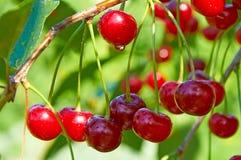 Красные вишни с waterdrops Стоковые Изображения RF