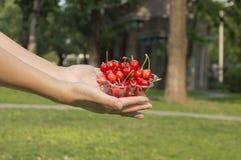 Красные вишни Стоковая Фотография RF