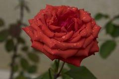 Красные влажная и шикарный Стоковые Фото