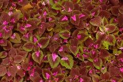 Красные, волнистые листья Стоковое Изображение RF