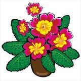 Красные в горшке цветки первоцвета изолированные на белизне Стоковые Фото
