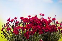 Красные гвоздики, красные цветения Стоковые Изображения RF