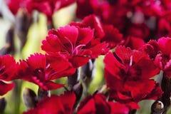 Красные гвоздики, красные цветения Стоковые Изображения