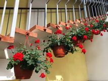 Красные гераниумы в баках на лестницах стоковые фото