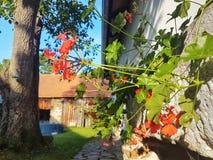 Красные гераниумы, домашний сад стоковые фото