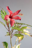 Красные гибискусы самонаводят цветок завода Стоковые Изображения