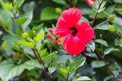 Красные гибискусы цветут на зеленой предпосылке, конце-вверх стоковая фотография rf