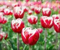 Красные голландские тюльпаны осмотренные во влажном стекле стоковое изображение
