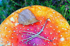 Красные гриб крышки и лист дерева Стоковое Изображение RF