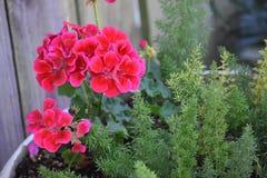 Красные группы цветка найденные в Техасе Стоковые Фотографии RF