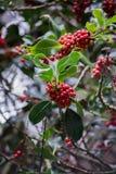 Красные группы ягоды Стоковые Изображения RF