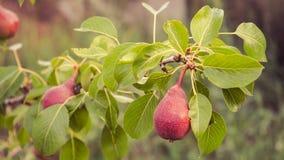 Красные груши на ветви грушевого дерев дерева Стоковое фото RF