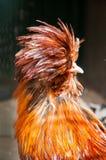 Красные декоративные цыпленок или петух Покрывают цыплят породы Kholhatai голова с пер стоковое фото rf