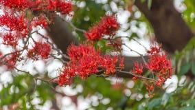 Красные дерево цветка обезьяны или огонь Пакистана Стоковая Фотография RF