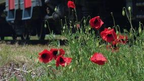 Красные дикие цветки мака пошатывая в ветре растут рядом с железнодорожными путями акции видеоматериалы