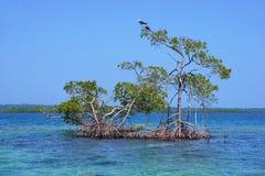 Красные деревья мангровы в воде карибского моря стоковое фото rf
