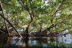 Красные деревья мангровы осмотренные от воды отделывают поверхность стоковые фото