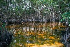 Красные деревья мангровы Стоковое Изображение