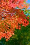 Красные деревья осени в Японии Стоковое Фото