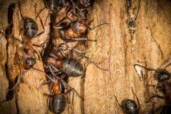 Красные деревянные муравьи работника весной строя на их гнезде, работая Стоковые Фотографии RF