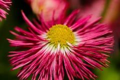 Красные желтые и белые цветки закрывают вверх Стоковое Фото